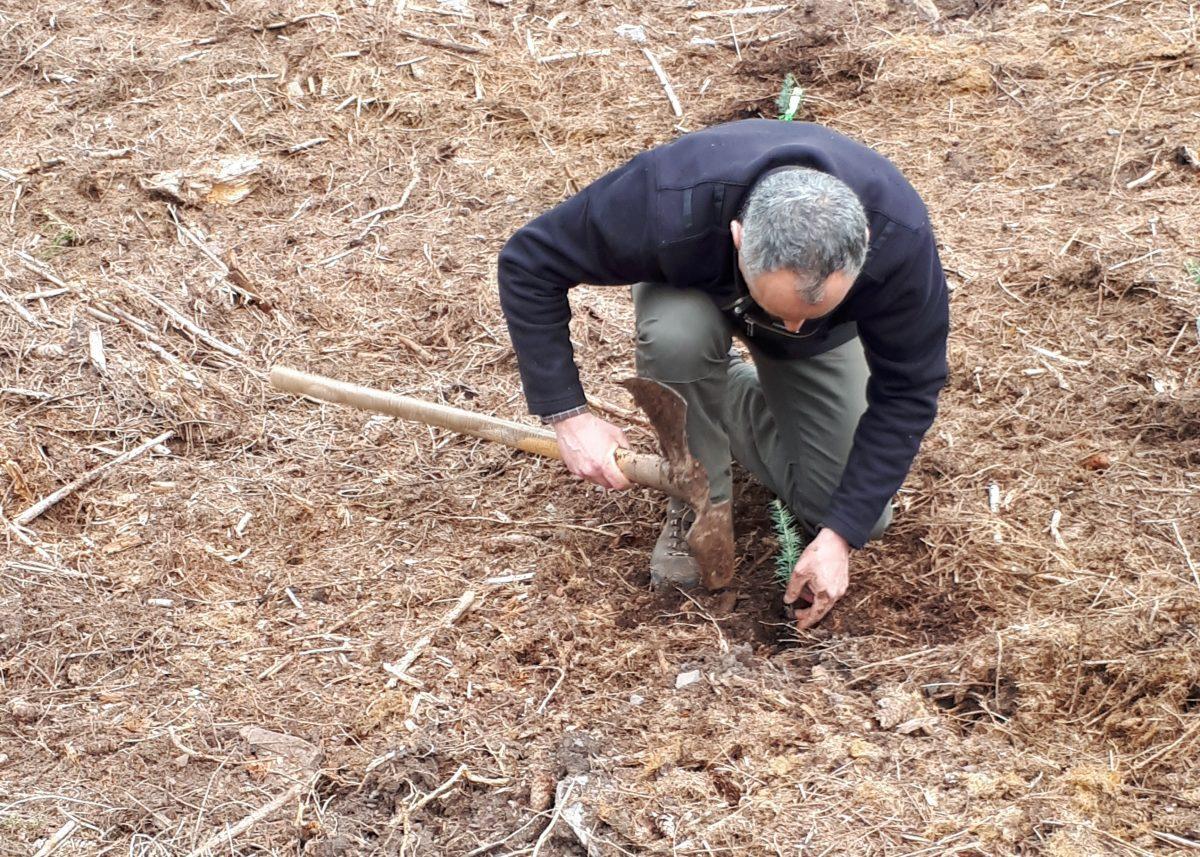 Garde forestier plantant un cèdre de l'Atlas