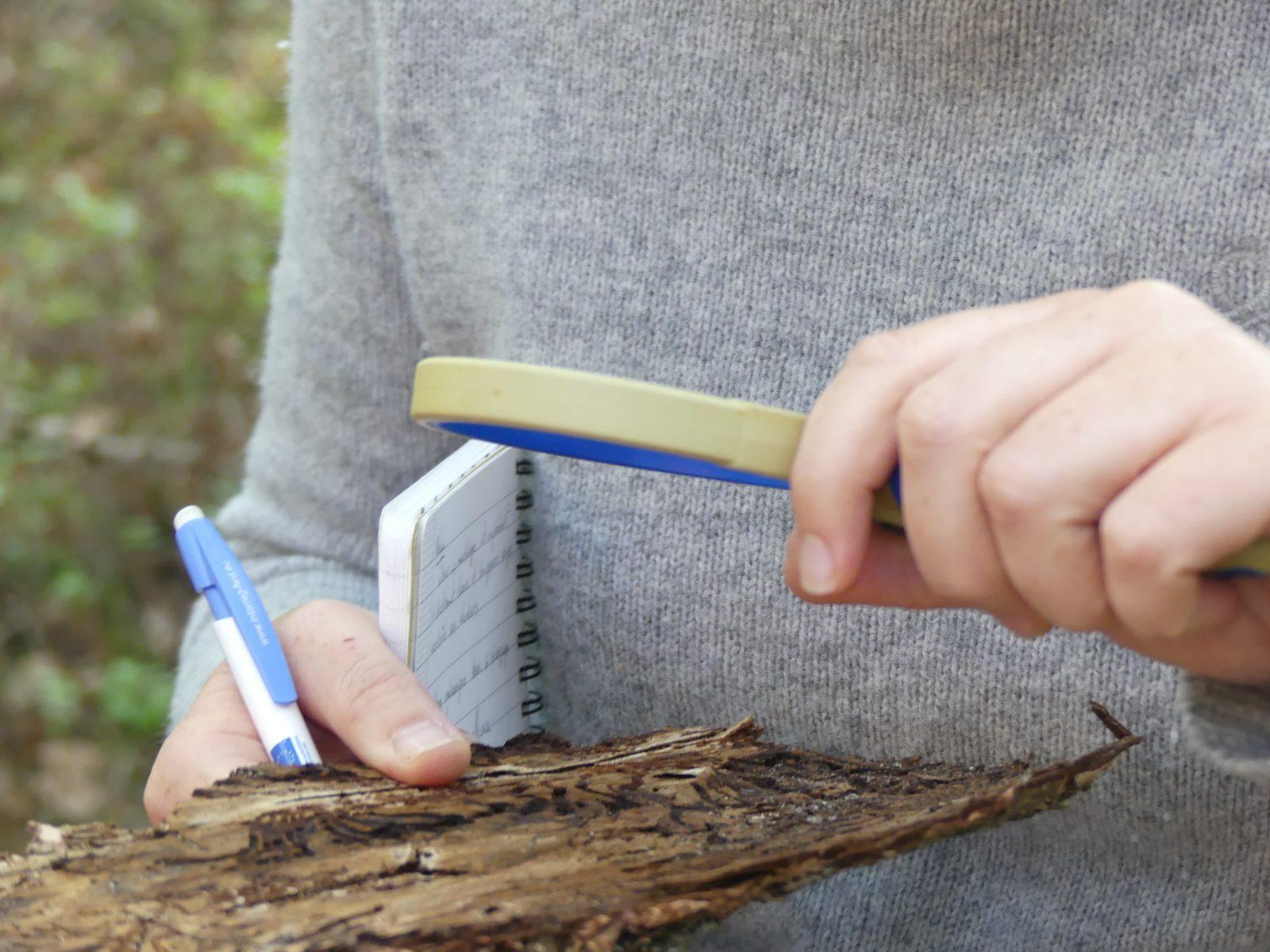 Un Observateur de la santé des forêt observant une écorce d'épicéas à la recherche de scolytes